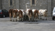 Vaches - Animaux